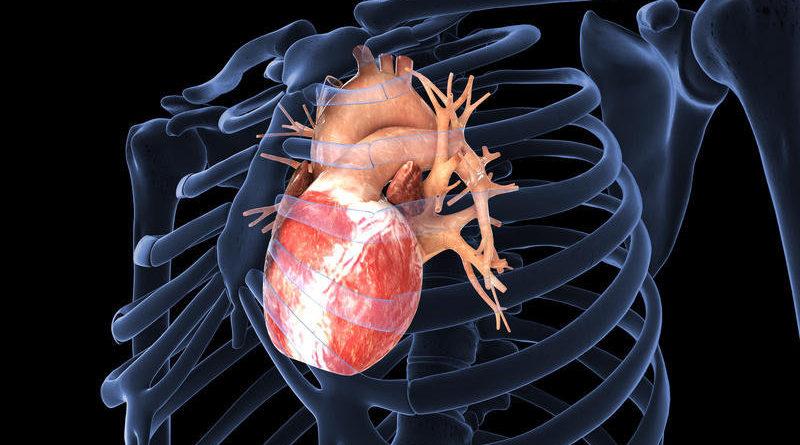 Еден ден би можело да се регенерира човечкото срце