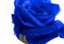 Кинески научници создадоа вистинска сина роза