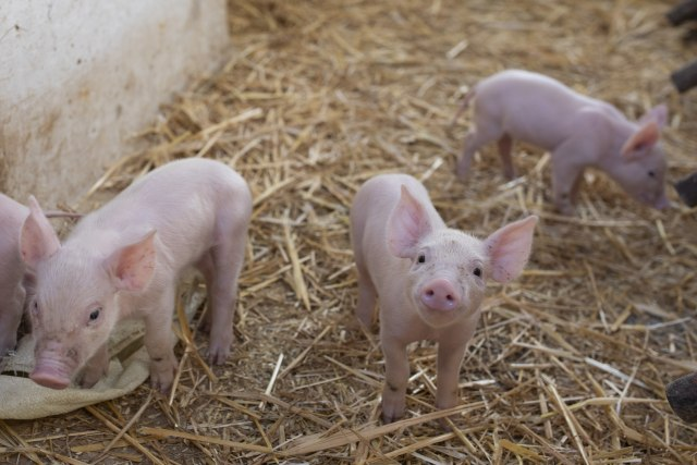 Научници оживеале мозок на свиња четири часа по смртта