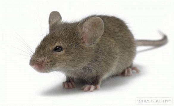 Во Кина пронајден праисториски глушец 2,5 пати поголем од денешните