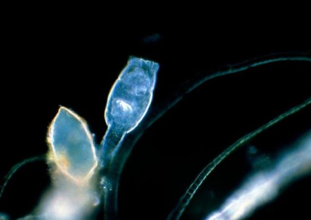 Микроорганизам оживеа по 24.000 години поминати под сибирскиот мраз!